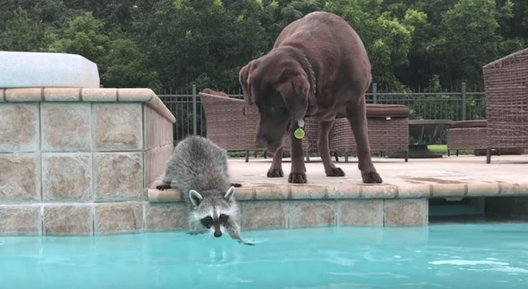 The dog was hesitant to go swimming – but her raccoon buddy motivates her to take a dive